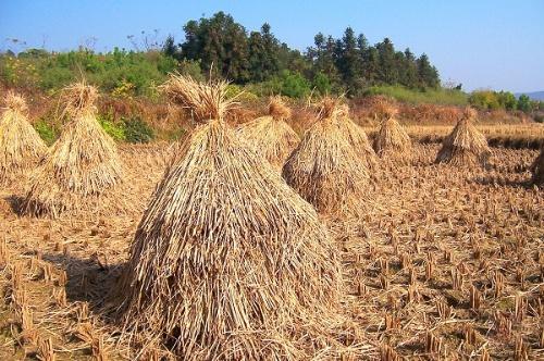 在乡间,稻草堆不仅是一道美丽的风景,更象是丰收的符号.