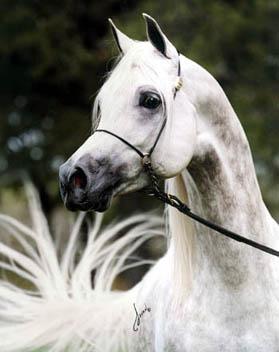 我最喜爱的动物——阿拉伯白马