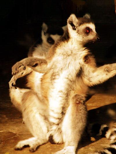 秋阳中的环尾狐猴(可爱的动物41)