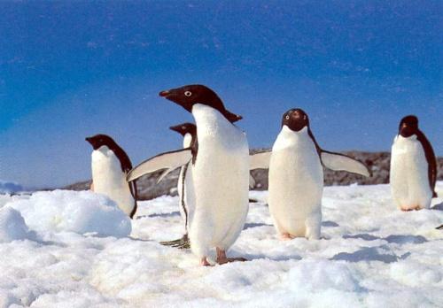 企鹅是地球上数一数二可爱的动物.