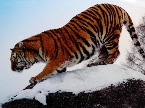 超可爱的小东北虎-1            东北虎近亲繁殖的后果