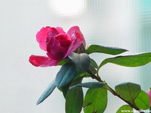 玫瑰花简笔画步骤图片 17张