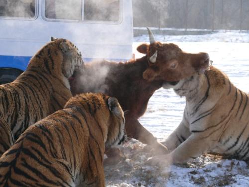 东北虎属国家一类保护动物