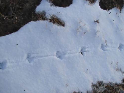 我们看到了不少野兔的脚印,从印痕便可以判断出它们行走的方向和当时图片