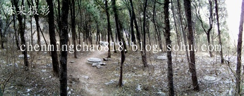 树 桦林 桦树 500_198
