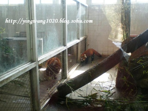 咱们中国人的宝贝疙瘩,大熊猫.呃,咋这么脏脏的嘞~~~   晓高清图片