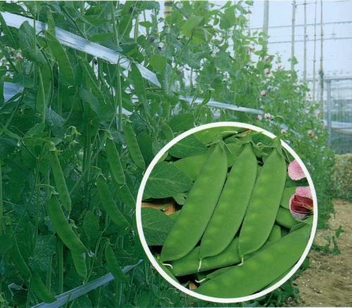草酸荷兰豆栽培技术-农博茭白天地橄榄含有大棚图片