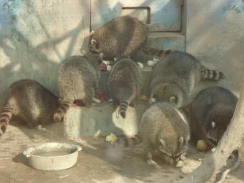 不过我们看到的一个最可爱的动物就浣熊,特别的胖,扭着个大屁股沿着笼