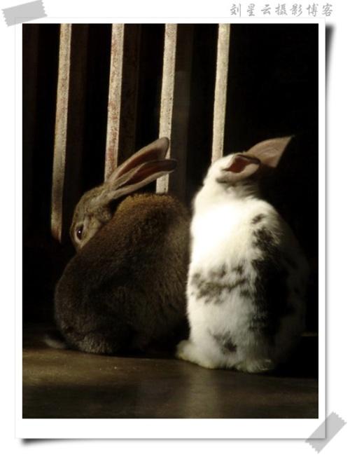 小白兔与小灰兔(可爱的动物94)