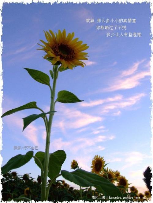 当一朵只能仰望月亮的向日葵