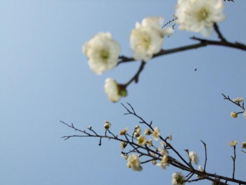 宝塔山的梅花们