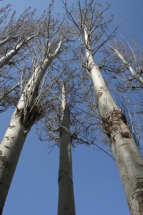 白杨树是西北独有的风景