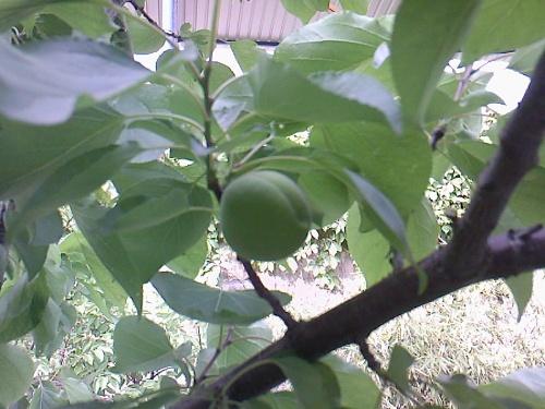 (院子里的杏树结满了杏)