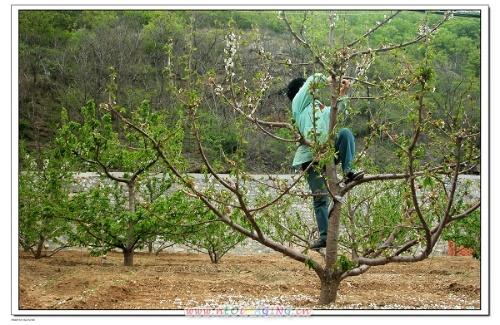 櫻桃樹剪枝部位怎么處理